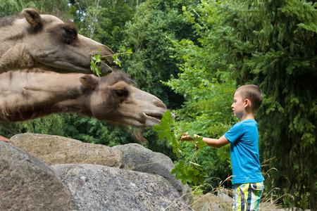 camello: niño pequeño alimentar camellos en el zoológico Foto de archivo