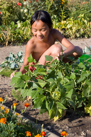 reaping: little girl reaping beans in Garden