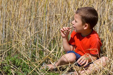 food stuff: little boy in a cornfield nibbling on wheat Stock Photo