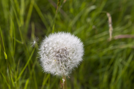 wind blown: Dandelion on green meadow with a caryopsis is blown away by the wind Stock Photo