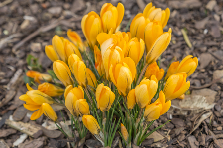 Many yellow crocuses on bark mulch
