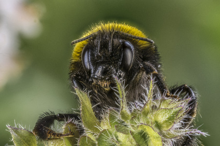 Closeup of a Bumblebee sitting on a flower