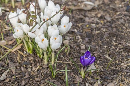 One single violet crocus beside of many white crocuses on bark mulch
