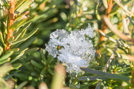 grub: Snow and ice on fir tree at a sunny day