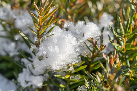 Snow and ice on fir tree at a sunny day