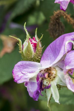 Closeup of a closed rose bud