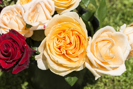 Closeup of colorful rose flower in a garden Stock Photo
