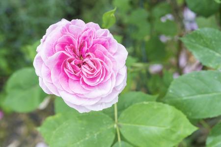 hugh: Closeup of red rose flower in a garden Stock Photo
