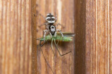 Gros plan d'une araignée avec une sauterelle en tant que proie Banque d'images - 76232847
