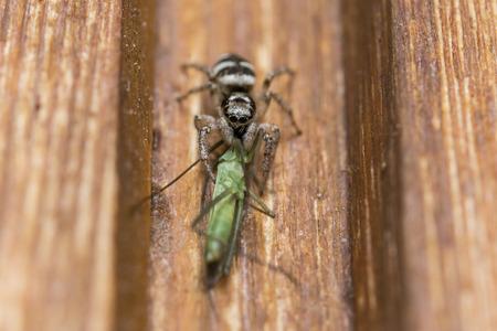 Gros plan d'une araignée avec piqûre et une sauterelle en proie Banque d'images - 76232873