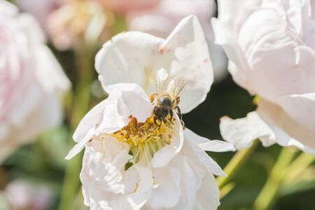 hugh: Closeup of white rose flower in a garden with a bee on the flower