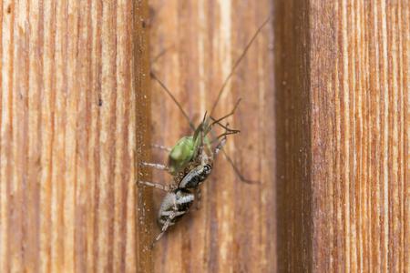 Gros plan d'une araignée avec une sauterelle en tant que proie Banque d'images - 76232874