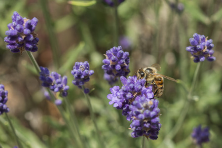 Closeup of a bee on a lavender flower Stock Photo