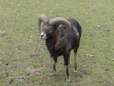 Closeup of an Mouflon