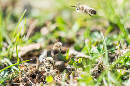 Flying male mining bee looking for some female bee Stock Photo