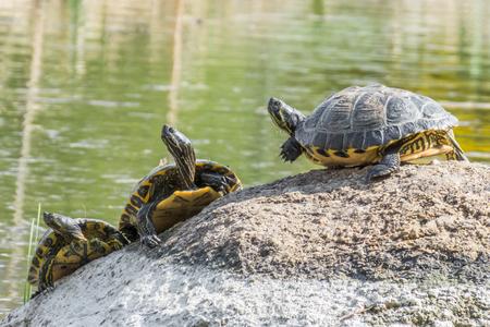 Alguma tartaruga sentado em uma pedra em um lago, aproveitando o sol