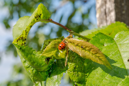 Ladybird beetle on a sherry tree with many louse and vermin