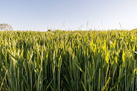 premature: Close up of a wheat field in early summertime