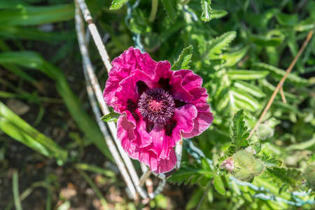 Close up of a violet poppy seed in a garden