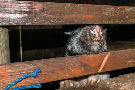Minipig in a old hog house