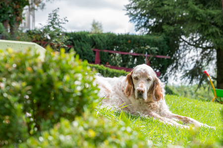 English Setter dog in the blazing sun laying on grass