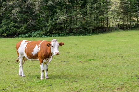 Cow on a meadow in austria Stock Photo