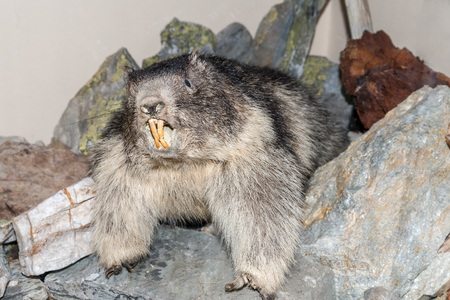 Trophy of an groundhog in a showcase