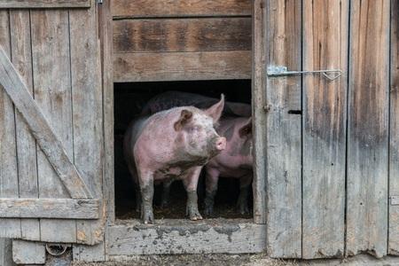 오래된 돼지 집에서 돼지