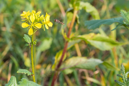 Hoverfly on a yellow charlock mustard flower
