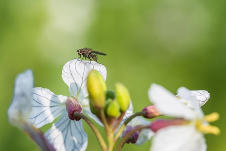 Sitting fly on a yellow charlock mustard flower Stock Photo