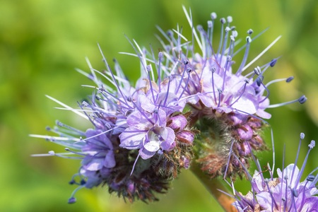 Closeup of a blooming phacelia on a field