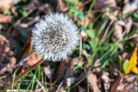 Single Dandelion flower at autumn Banque d'images