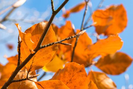 Orange autumn leaves on a tree limb Stock Photo