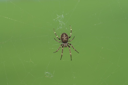 Closeup of a cross spider in its spider web Stock Photo