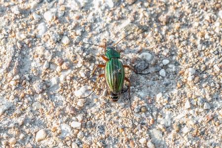 Two golden ground beetles on one floor Фото со стока