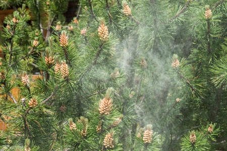 Cloud of pollen from a pine tree Stock Photo
