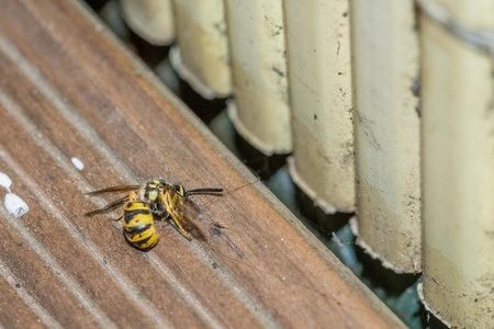 A dead wasp on the floor of a balcony, Germany Banco de Imagens