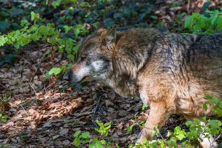 Close-up of male wolf in its territory, Germany