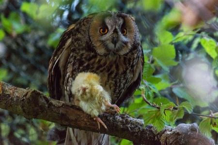 An owl eats a little chick on a branch