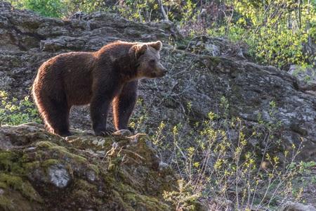 Brown bear on roam his territory, Germany