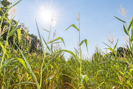 Blue sky and sun over a corn field in summer, Germany
