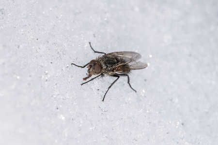 A housefly drinks water at winter from ice crystals