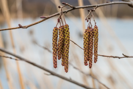 Hanging Birch Kittens on a Birch in Spring