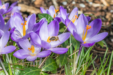 Violet crocus flowers in spring with flying bees collecting honey, Germany Stockfoto