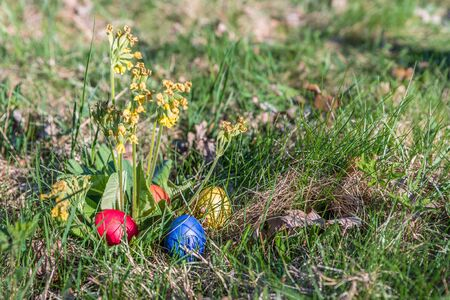 Real primrose with colorful easter eggs in the spring sun in the garden, Germany