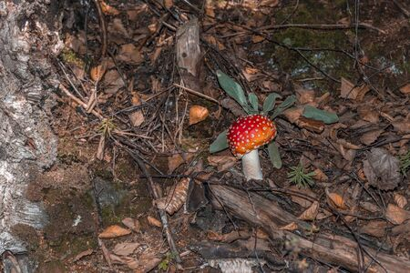 Poisonous toadstool (Amanita muscaria) at the roadside, Germany