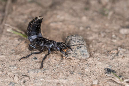 Devil's coach horse beetle in defensive attitude and defensive position shortly before attack in the Bavarian Forest, Germany Europe 免版税图像