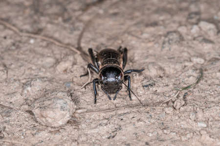 Close-up of a cricket on a field path in the Bavarian Forest, Germany Europe 免版税图像