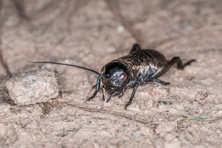 Close-up of a cricket on a field path in the Bavarian Forest, Germany Europe 免版税图像 - 157860463