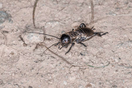 Close-up of a cricket on a field path in the Bavarian Forest, Germany Europe 免版税图像 - 157860464